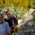 In the heart of the mimosa in Mandelieu