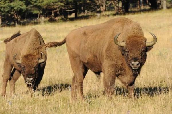 Réserve des monts d'azur – les bisons