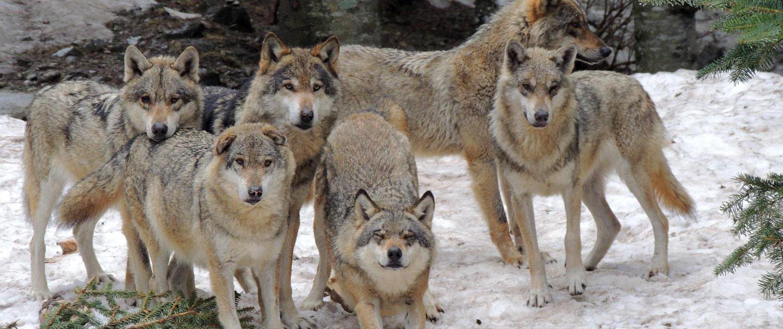parc alpha des loups exp rience c te d 39 azur. Black Bedroom Furniture Sets. Home Design Ideas
