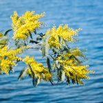 Balade nature : quand les Mimosas sont en fleurs